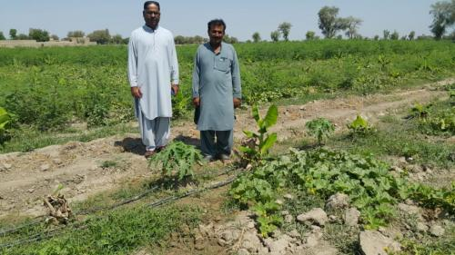 10 acres intercropped drip installed on banana /musk melon & banana /papaya on the farm of Mr Mehmood Kaloi near Daulatpur.  Farmer was satisfied with the growth of the crop.  System was installed by M/S Pelikan.