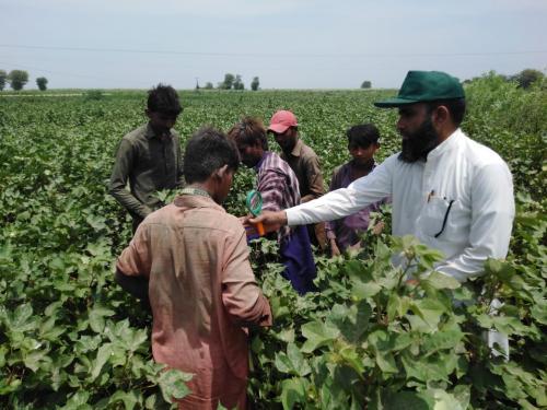 FFS activities on demo plot under SIAPEP  Watercourse 1L Dasori District Tandoallahyar